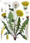 Одуванчик лекарственный - травник лекарственных растений